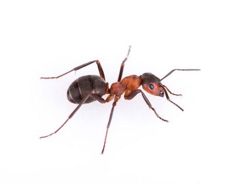 Ant isolated on white background.