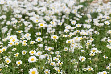 daisy flower meadow