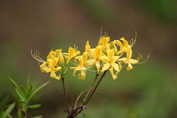 Różanecznik, azalia, rododendron (Rhododendron)