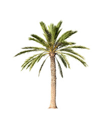 Big palm tree isolated on white