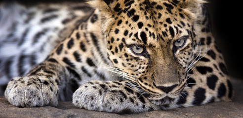 resting Amur leopard makes eye contact