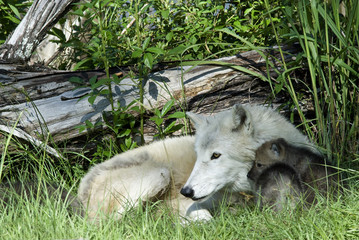 Arctic wolf mother with puppies