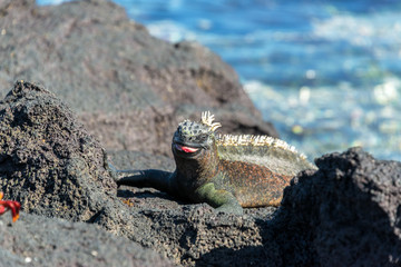 Marine Iguana with its tongue out on Fernandina Island on the Galapagos Islands in Ecuador