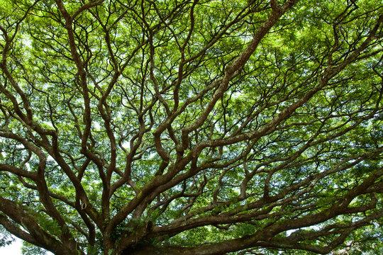 Beautiful Monkey Pod Canopy on a  Bright Day