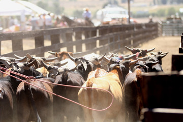 Herding cows along by horseback at the beginning of a rodeo.