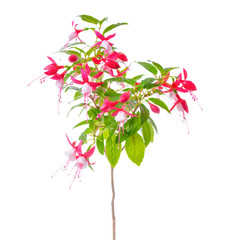 blooming beautiful stam tree of red and white fuchsia flower is