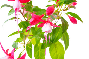 blooming red and white fuchsia flower is isolated on white backg