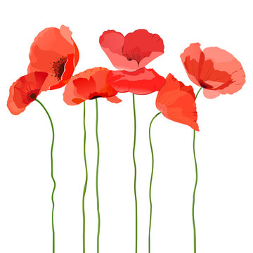 Red poppy flowers with long stem on white background