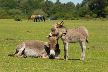 New Forest Hampshire England UK mother and baby donkey summer sunshine