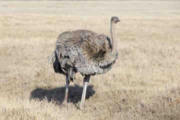 Ostrich (Struthio camelus) female foraging on the savanna plaines, Ngorongoro crater, Tanzania.
