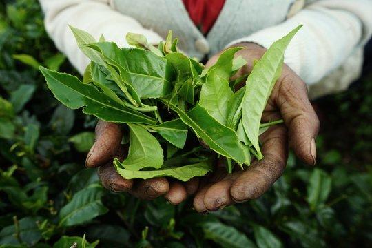 Sri Lanka, femme cueilleuse de thé dans les plantations.