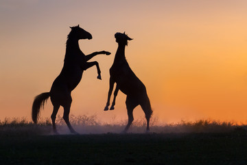 Silhouette of  two fighting horses against orange sunset sky