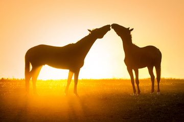 Silhouette of  couple horse against orange sunrise sky in field