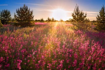 landscape with the blossoming  meadow at sunrise
