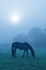 Horse Grazing in Blue Fog – A horse grazes in the early morning fog.