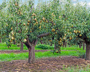 Conference pears in a Kent Orchard.