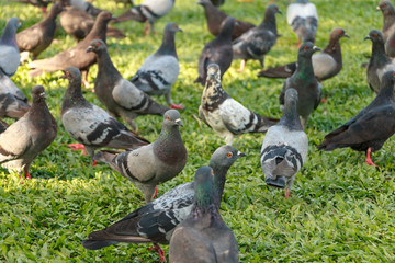 Pigeons are eating food on the grass in public park