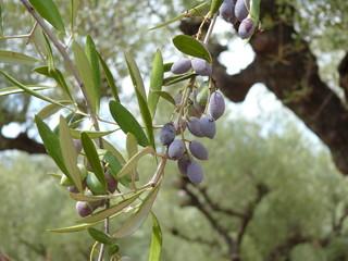 kleine schwarze Oliven