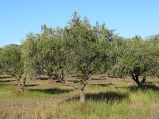 Schöne Olivenbäume mit Sommerhimmel