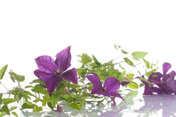 beautiful blooming clematis