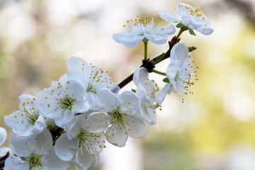Apricot blossom sprig spring. Macro.