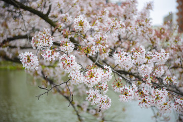 Cherry blossoms in a tree in spring