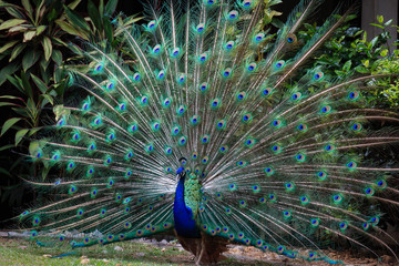 Peacock openning its wings to attract female