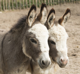Headshot of two donkeys