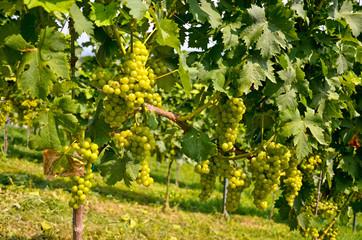 Weinstock mit Weintrauben vor der Weinlese Ernte, Südsteiermark Österreich