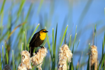 Yellow-headed Blackbird on a cattail in Alamosa National Wildlife Refuge in Colorado