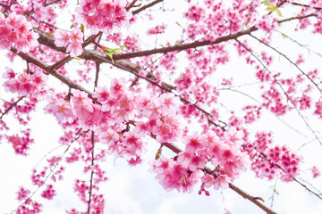 Sakura Of Thailand