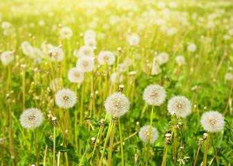 dandelions on summer meadow