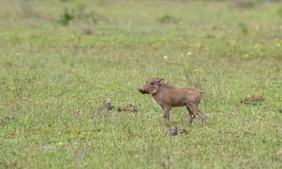 A new born baby warthog in South Africa