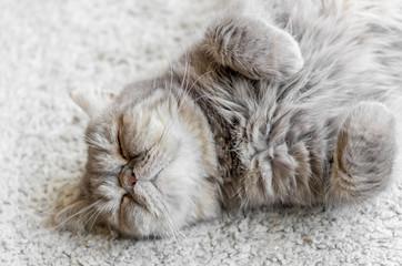 熟睡する飼い猫 仰向け