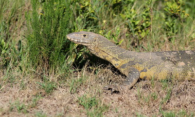 A monitor lizzard / leguaan in this image from Africa