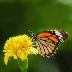 butterfly (Common Tiger) and beautiful yellow flower