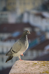 Pidgeon on a Rooftop