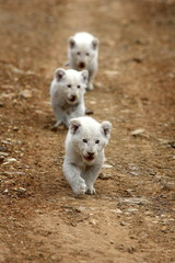 Three cute baby white lion cubs walking down the road in this image from South Africa
