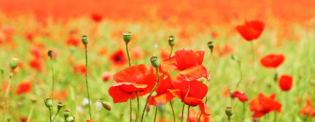Field of bright red corn poppy