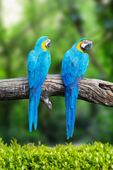 Two blue macaw on branches in tropical.
