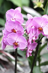 Storczyki - storczyk (Orchis - Orchidaceae) – byliny