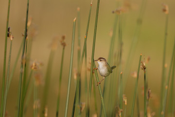 Marsh Wren at dawn in Alamosa National Wildlife Refuge in Colorado