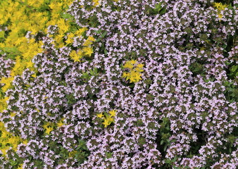 Creeping thyme and sedum in bloom, ground cover in a herb garden