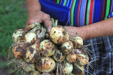 Onions close up in hands of elderly man