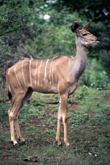 Una Femmina di Kudu (Tragelaphus strepsiceros) del Parco Nazionale del Kruger in Sud Africa