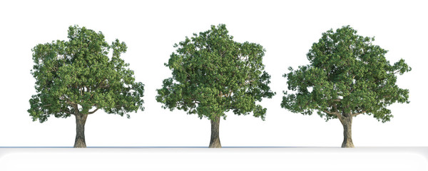 Quercus  tree 3D isolated
