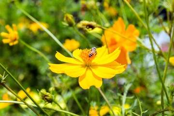 Wall Mural - Close up  Sulfur Cosmos or Yellow Cosmos flower with bee in the garden