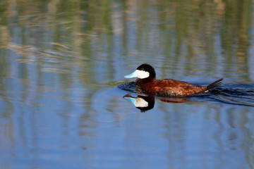 Ruddy Duck swims in blue marsh water, with reflections