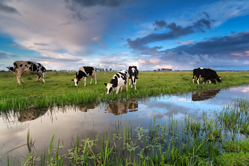 Wall Mural - few cows grazing on pasture by river
