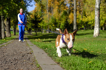 Young attractive sport girl jogging with dog on gravel path in sunny autumn park; bull terrier with collar and leash; selective focus